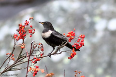 Ring Ouzel. (Georgiegirl2015) Tags: ringouzel birds nature dellalack wildlifephotography wales avian autumn november2018 rocks berries thrush elanvalley bbcwalesnature bird canon countryside ef300mm crags insect worms