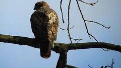 Red-tailed Hawk_8401.mp4 (Henryr10) Tags: ottoarmlederpark hamiltoncountyparkdistrict cincinnati ottoarmledermemorialpark armlederpark littlemiamiriver greatparksofhamiltoncounty usa beanfield overlookwoods