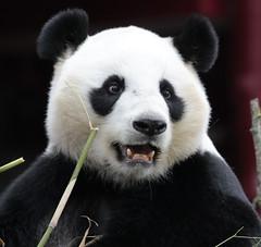 giant panda Ouwehands 094A0163 (j.a.kok) Tags: animal bear beer bamboebeer bamboobear panda giantpanda grotepanda china asia azie mammal zoogdier dier ouwehands