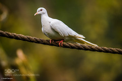 """Dove of Peace"" to mark Armistice Centenary (KevinBJensen) Tags: nonurban scene nature park spring dove peace white bird pigeon noahs bibilical armistice day centenary photography birding birdwatching photograph pics wildlife animal anish daryani ornithology feathers perched cute"