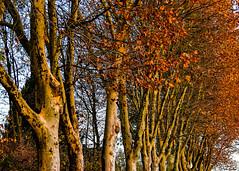 Herbst (hermelin52) Tags: deutschland nrw ruhrgebiet henrichenburg herbst indiensummer autum waltrop oberwiese jahreszeiten germany herbstlaub