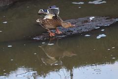 Tai Chi Duck (Dougie Edmond) Tags: prestwick scotland unitedkingdom gb bird nature wildlife