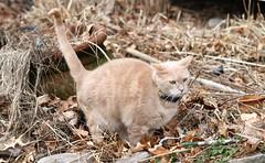 Let me just start by saying I'm sorry (Kerri Lee Smith) Tags: jimmy cat feline tabby buff buffcat bufftabby beigecat beigetabby orangecat orangetabby winter yard neighborsyard plants happycaturday leaves