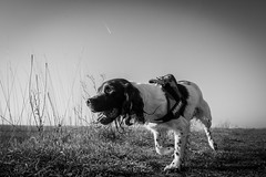Dog face (Andy Willett) Tags: 1755 d7200 nikon k9 springerspaniel blackandwhite dogs dog