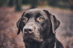 My dog (mawestbohl) Tags: beauty cute labrador pet bokeh swirly a7rii alpha sony helios44 helios vintagelens vintage portrait outdoor friend dog