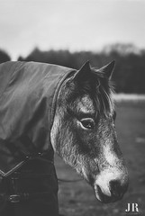 I think he's thinking 'am I cute enough' yes , yes you are 😍🐴 (jessica.rose93) Tags: love dun pony uk beautiful gorgeus cute winter scotland blackandwhite bokeh 85mmlens 85mm lens canon canon7dmarkii portrait horse