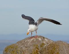Landing gull (afagen) Tags: california pacificgrove montereypeninsula pacificocean ocean bird