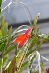Masdevallia veitchiana ('Pacific Giant' x 'Bolin') 1-2 species orchid 10-18 (nolehace) Tags: masdevallia veitchiana pacific giant bolin 12 species orchid 1018 fall nolehace sanfranciso fz1000 flower bloom plant
