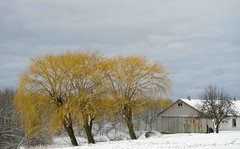 Willows by the Barn- (otterman51) Tags: canada grimsby landscape ontario ortbaldauf tree barn clouds cold colours farm nature niagara niagaraescarpment ortbaldaufcom outdoors photography sky snow willow willows winter woods