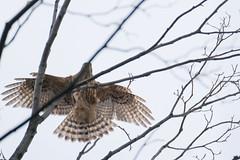 DSCF6549 (jojotaikoyaro) Tags: bird animal nature wildlife suginami tokyo japan fujifilm xh1 xf100400mm