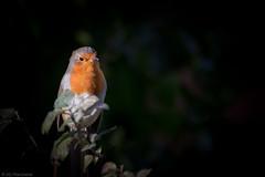 Get out of my garden! (Through_Urizen) Tags: animalsbirdsinsects bedfordshire birds category england luton places robin garden wildlife bird gardenbird angry colourful canon70d canon tamron70300