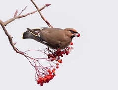 Waxwing with Rowan Berry (Chris Willis 10) Tags: waxwings bird animal nature wildlife feather beak flying animalwing oneanimal outdoors branch animalsinthewild beautyinnature red birdwatching colorimage nopeople closeup white spreadwings rowanberries
