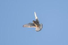Common Kestrel at Skeie S24A0537 (grebberg) Tags: skeie klepp rogaland norway november 2018 commonkestrel kestrel falcotinnunculus falco falcon raptor birdofprey bird