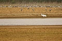 Whooping Crane (deanrr) Tags: wheelernationalwildliferefuge decaturalabama outdoor bird nature morgancountyalabama tamron18400mm water field crane grass endangered whitebird whoopingcrane sandhillcranes
