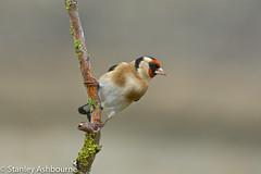 Goldfinch (stanley.ashbourne) Tags: goldfinch nature wildlife standlake oxfordshire birdphotography wildlifephotography stanashbournephotography