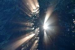DSC_5555 (griecocathy) Tags: paysage rayon soleil sapin forêt tronc branches vert blanc crème gris brillance sombre lumineux bleutée