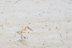 godwit-1 (Alex Ignatov) Tags: auckland newzealand bird birdwatching godwit nature wildlife aucklandregion nz