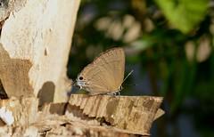 Common tit Butterfly Hypolycaena erylus (radhikaibr) Tags: lepidoptera papilionoidea lycaenidae theclinae hypolycaenini hypolycaena butterfly commontit