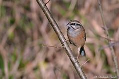 Zigolo muciatto _001 (Rolando CRINITI) Tags: zigolomuciatto uccelli uccello birds ornitologia avifauna castellettomerli natura