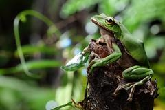 2J4A8042 (ajstone2548) Tags: 12月 樹蛙科 兩棲類 翡翠樹蛙