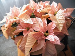 Poinsettia with Pizazz (MissyPenny) Tags: poinsettia peachy exotic delicate pastel pinkypeach orange holiday plant flower