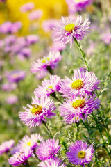 Aster flowers in sunny day (hoboton) Tags: bed day sun sunny garden park shot pink lush aster green white petal light bloom flora color plant image meadow nobody diagonal floral autumn flower yellow summer season purple beauty nature botany august outdoor foliage vibrant holiday blossom magenta colorful elegance september beautiful arrangement backgrounds abstract bee insect