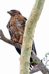 Tawny Eagle (Roy Lowry) Tags: tawnyeagle ubizane aquilarapax