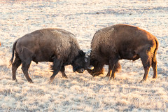 January 5, 2019 - Bison battle. (Tony's Takes)