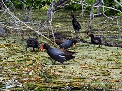 Gallinule Family on the Silver River (Phil's 1stPix) Tags: olympusem5markii creativecommonsnature creativecommonswildlife firstpix floridanature phils1stpix silverriver silverrivercanoetrip silverriverwildlife wildflorida commongallinule marshbird immaturecommongallinule commongallinulechick commongallinuleparent gallinulagaleata ordergruiformes familyrallidae taxonomy:binomial=gallinulagaleata floridacanoeing floridasprings marioncountyflorida floridawildlife realflorida naturalecosystem geotag geotagged unitedstates usa centralfloridarecreation photoscape floridaecosystem centralfloridariver floridacanoetrip olympusem5mark2 birdphotography wildbird centralfloridasprings olympusomdem5markii adobelightroom6 olympusm75300mmf4867ii silverspringsstatepark ocalaflorida floridastatepark floridanaturalspring april2018 kayaktrip floridakayaking commongallinulefamily commongallinulechicks silverrivercommongallinule