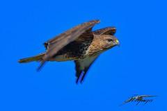 poiana (Tonpiga) Tags: tonpiga uccelliinlibertà faunaselvatica rapace predatore buteobuteo poiana panning