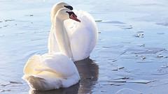 Schwäne / swans 2 (Chridage) Tags: swans schwan schwäne wasser water ice eis