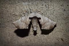 Spotted Apatelodes (Apatelodes torrefacta) (JHousePhotos) Tags: arkansas moths bombycidae