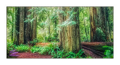 JEDADIAH SMITH-REDWOODS-HDR-01-2019-4532WX2460H-300PPI © Cody Jacobson-ZEN MOUNTAIN MEDIA all rights reserved (codyjacobson@zenmountainmedia.com) Tags: jedadiah smithredwoodshdr0120194532wx2460h300ppi zen mountain logo tshirt poster design photohsop digital art portfolio landscape photography smith redwoodnational forest ca nikon samsung galaxy s8 canon t6i retouching aurorahdr photoshop camera raw redwoods trees beautiful green evening hiking nature love winter grove oldgrowth colors colorful tourism travel oregon california 2017 outdoors picoftheday photo 2018 exploringtheartofimagination zenmountainmediacom