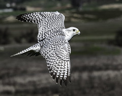 Gyrfalcon In Flight (Bill Gracey 22 Million Views) Tags: hawkwatch bird bif birdinflight ramona raptor birdofprey wings patterns