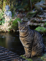 Happy Enlighted Caturday (AnyMotion) Tags: nelli gardenpond gartenteich buddha statue bamboo bambus cat cats katze katzen animals tiere 2019 anymotion tabby getigert atigrada félin chat gata 7d2 canoneos7dmarkii winter hiver invierno