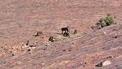 Wilde Bärenpavian Familie (Sanseira) Tags: afrika africa south süd südafrika monkey affe familie wild nationalpark klippspringer trail moonrocks bärenpavian