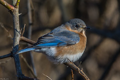 Basking in the morning light (Fred Roe) Tags: nikond7100 nikonafsnikkor200500mm156eed nature wildlife birds birding birdwatching birdwatcher bluebird easternbluebird sialiasialis peacevalleypark