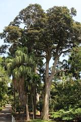 White Walnut (Cryptocarya obovata) (Poytr) Tags: whitewalnut cryptocarya cryptocaryaobovata lauraceae royalbotanicgardenssydney rbgsarfp rbgs arfp nswrfp qrfp sydneyaustralia nsw tree sky