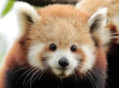 red panda Blijdorp 094A0280 (j.a.kok) Tags: panda redpanda rodepanda kleinepanda animal asia azie china mammal zoogdier dier blijdorp babypanda blijdorpzoo