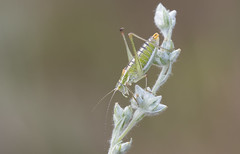 Brunner's Bright Bush-cricket. (Poecilimon brunneri). (Bob Eade) Tags: brunnersbrightbushcricket poecilimonbrunneri cricket insect bulgaria meadow europe summer nature wildlife orthoptera