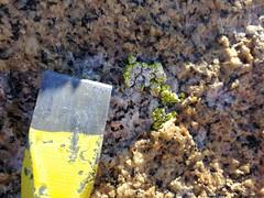 Die BioSigN-relevante Flechte Pleopsidium chlorophanum am Mt Keinath