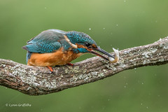 The whack D85_5666.jpg (Mobile Lynn) Tags: birds withprey kingfishersrelatives kingfisher nature alcedoatthis aves bird chordata coraciiformes eating fauna food prey wildlife withcatch withfood winchester england unitedkingdom gb coth specanimal ngc npc coth5