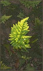 Sunbathed (charlottes flowers) Tags: fern photoshopart texture hss sliderssunday
