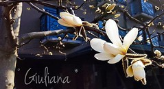 Japan flower (° Giuliana *) Tags: japan giappone fiore flower trip viaggio white bianco foto fotografia photo photography love amore scatto click flickr beautiful nature natura bellissimo fiori flowers yellow giallo spring primavera november novembre