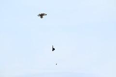 IMG_0055 (monika.carrie) Tags: monikacarrie wildlife seo shortearedowl forvie scotland owl