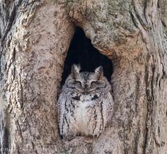Brave little guy (rdroniuk) Tags: birds raptors owls owl birdsofprey screechowl megascopsasio easternscreechowl oiseaux rapaces oiseauxdeproie petitducmaculé hiboux screech graymorphscreechowl