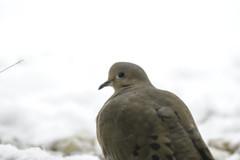 Winter Dove - What! (Modkuse) Tags: dove bird winter snow nature natural wildlife creater fujifilm fujifilmxt2 xt2 xf55200mmf3548rlmois fujinon fujinonxf55200mmf3548rlmois art artphotography artistic fineartphotography fineart photoart
