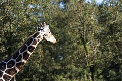 Reticulated Giraffe (Find The Apex) Tags: louisiana animal globalwildlifecenter reticulatedgiraffe giraffe
