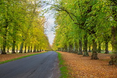 Lime Avenue (Bruce Poole) Tags: brucepoole clumberpark limeavenue october2018 brucesspace forest nottinghamshire autumnotonoautomneautunno fall autumnlight england nationaltrust nt