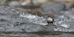 Dipper (Ponty Birder) Tags: g b wheeler pontybirder garywheeler birds dipper cincluscinclus wales birdwatcher